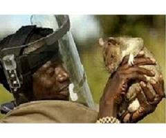 Most Trusted Sangoma classifieds with Spiritual Rats,amagudwane,money spells +27635620092