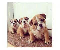 Super adorable English Bulldog puppy for Re-Homing